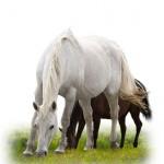 aslcweb-chevaux